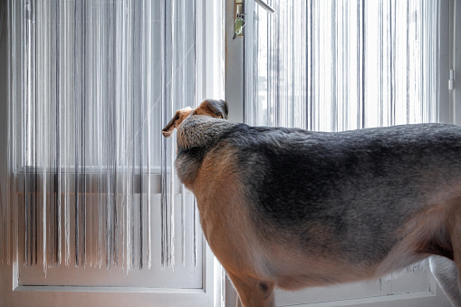 A mixed-breed brown greyhound senior dog is listening and looking outside through the half-open door