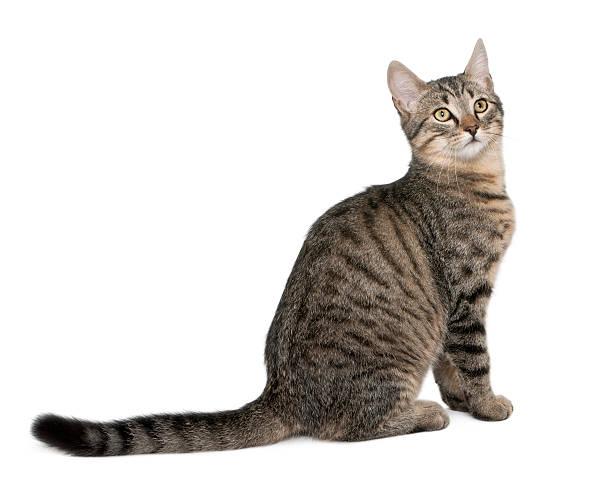 Mixedbreed cat felis catus 6 months old picture id450501951?b=1&k=6&m=450501951&s=612x612&w=0&h=b7kqoapwbczglnhmuoq1qpmm1omjvjomogb13odmf5o=