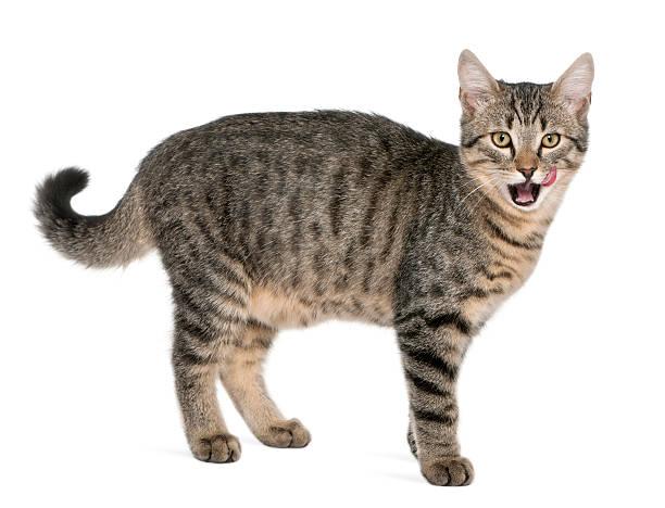 Mixedbreed cat felis catus 6 months old standing picture id136505248?b=1&k=6&m=136505248&s=612x612&w=0&h=xv76n0mdpbyepdnkz6 n6k  0w2oqhnqalk2eu4lfmw=