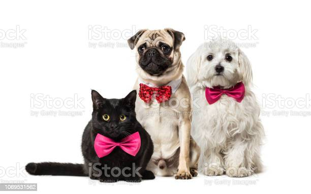 Mixedbreed cat pug in red bow tie sitting maltese dog in front of picture id1069531562?b=1&k=6&m=1069531562&s=612x612&h=cbhmoxohqw7xafwro82jgr05yxuwvrhqxkql8tuws6s=
