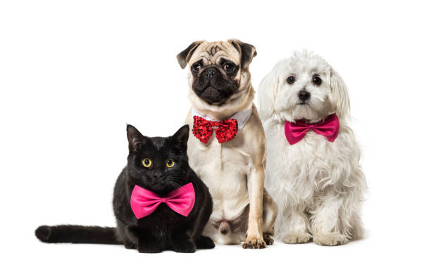 Mixed-breed cat, Pug in red bow tie sitting, Maltese dog, in front of white background stock photo