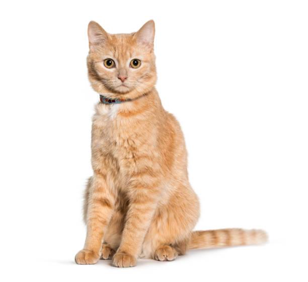 混雜的貓坐和看在觀景窗反對白色背景 - 衣領 個照片及圖片檔