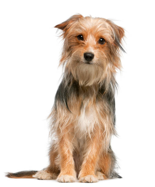 Mixed-breed dog, 12 months old, sitting in front of white background Mixed-breed dog, 12 months old, sitting in front of white background mixed breed dog stock pictures, royalty-free photos & images