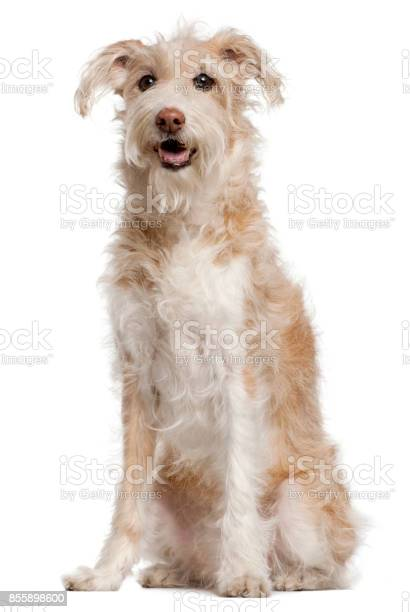 Mixedbreed dog 14 years old sitting in front of white background picture id855898600?b=1&k=6&m=855898600&s=612x612&h=5exh3vp3sblg9gojeirpe0qtvfcdj5qsefb4wi7clo0=