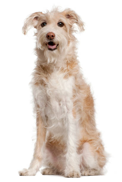 Mixed-breed dog, 14 years old, sitting in front of white background Mixed-breed dog, 14 years old, sitting in front of white background mixed breed dog stock pictures, royalty-free photos & images