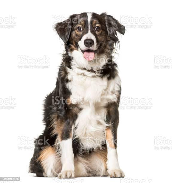 Mixedbreed dog 5 years old sitting against white background picture id959889130?b=1&k=6&m=959889130&s=612x612&h=5ucnswyd2rhloqmikbpyw2vf4ucenktamceawz3mwli=