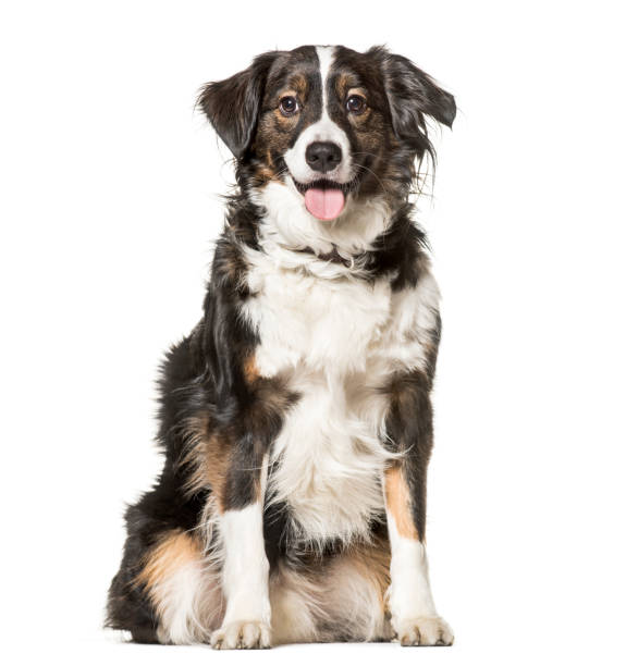 Mixed-breed dog , 5 years old, sitting against white background Mixed-breed dog , 5 years old, sitting against white background mixed breed dog stock pictures, royalty-free photos & images
