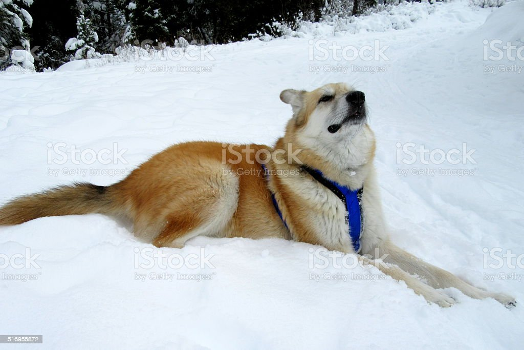 Mixed-Breed Dog in Skijoring Harness, Winter stock photo