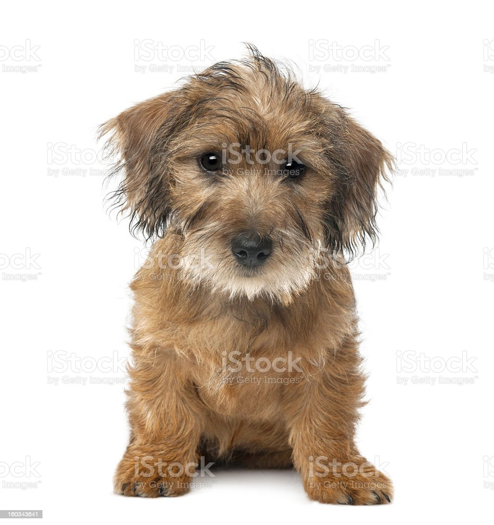 Mixed-breed dog puppy, 3 months old, sitting stock photo