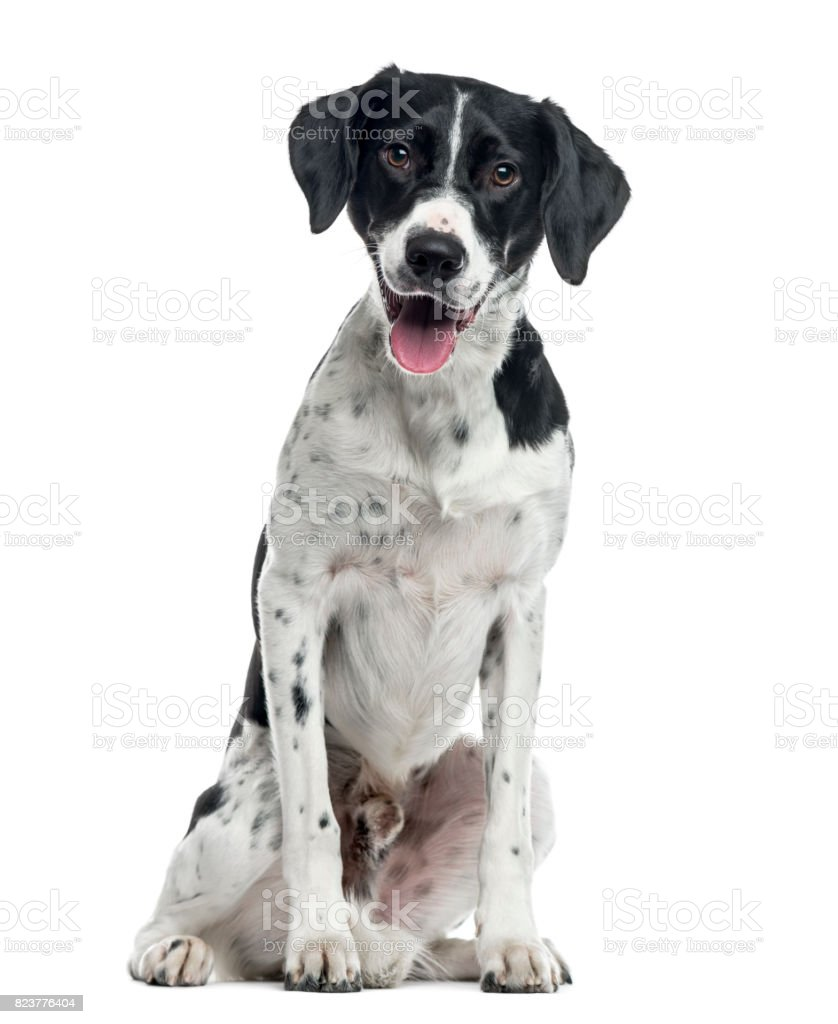 Mixed-breed dog sitting, 2 years old , isolated on white – zdjęcie
