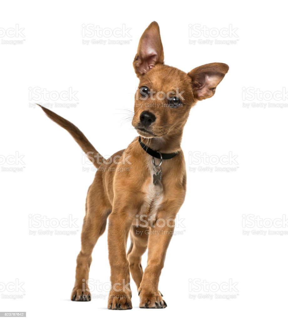 Mixed-breed dog standing, 3 months old, isolated on white стоковое фото