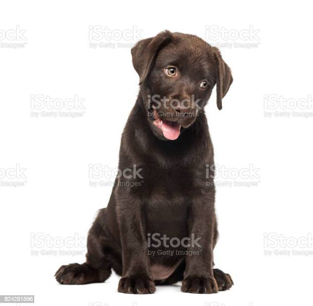 Mixedbreed labrador husky puppy picture id824261596?b=1&k=6&m=824261596&s=612x612&h= wehzts p3jsl4meorrpgw8cpmepwmwliojceibr jg=