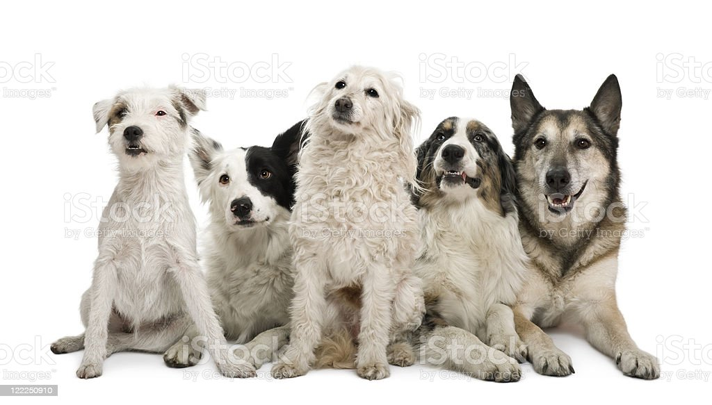 Mixed-breeds, border collie, Australian shepherd, parson russel terrier, white background. royalty-free stock photo