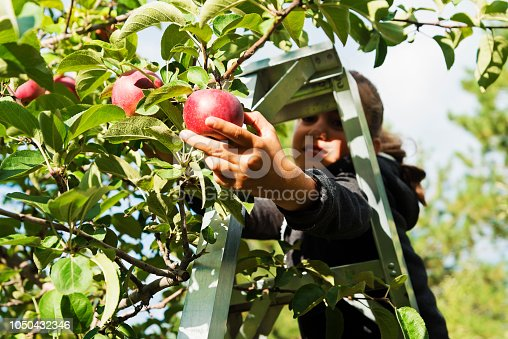 An adorable mixed-race little girl picking up apples in an orchard. She is shot through the leaves picking a ripe one. Focus on the apple. She is wearing warm clothes on an autumn day. Horizontal waist up outdoors shot with copy space.