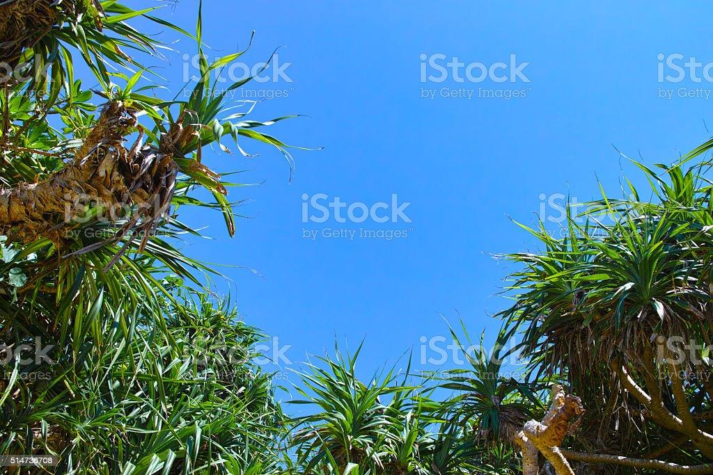 Miyakojima Adan trees and blue sky stock photo