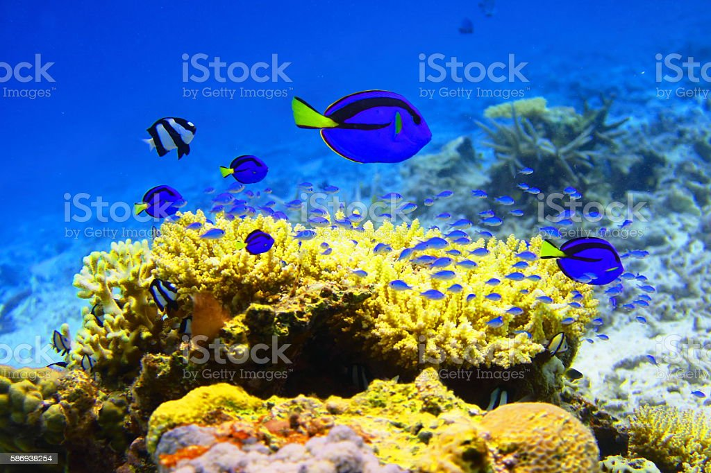 Miyakojima coral and blue fish stock photo