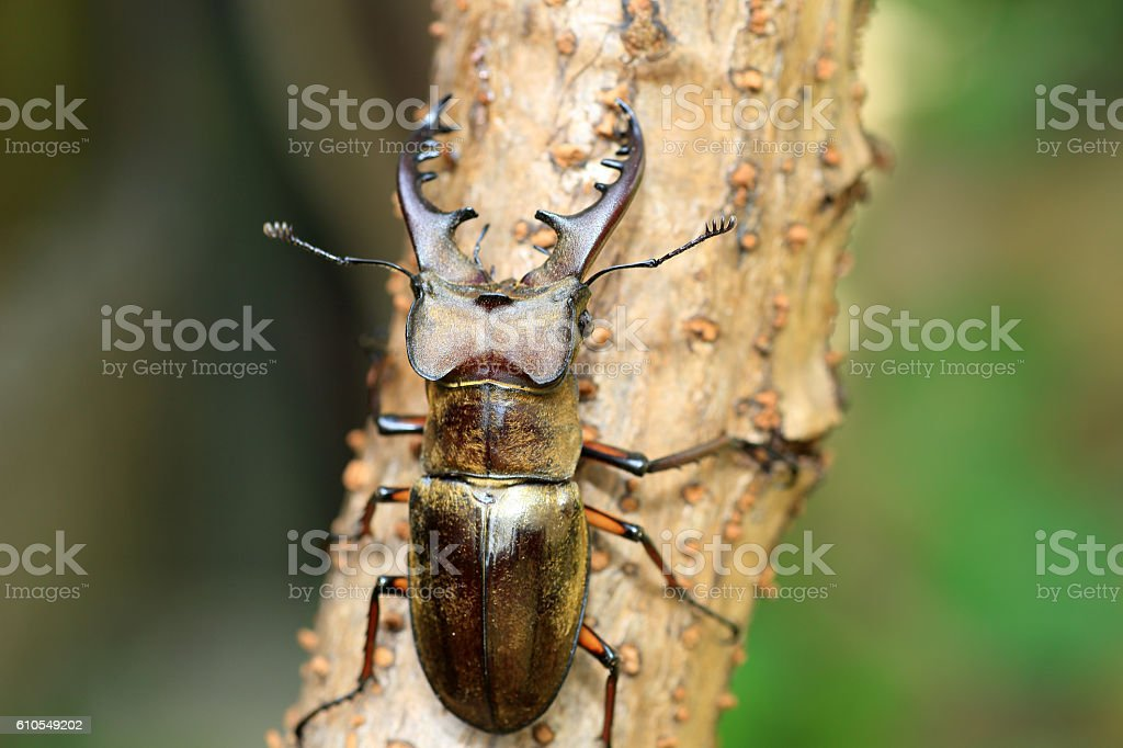 Miyama Stag Beetle stock photo