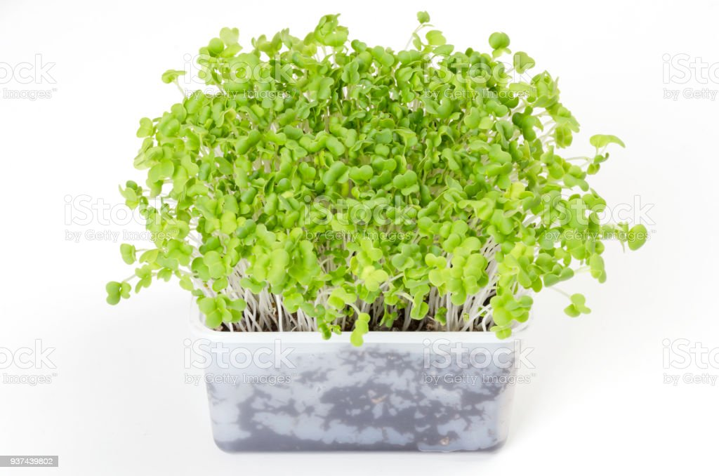 Mizuna microgreen in white plastic container stock photo