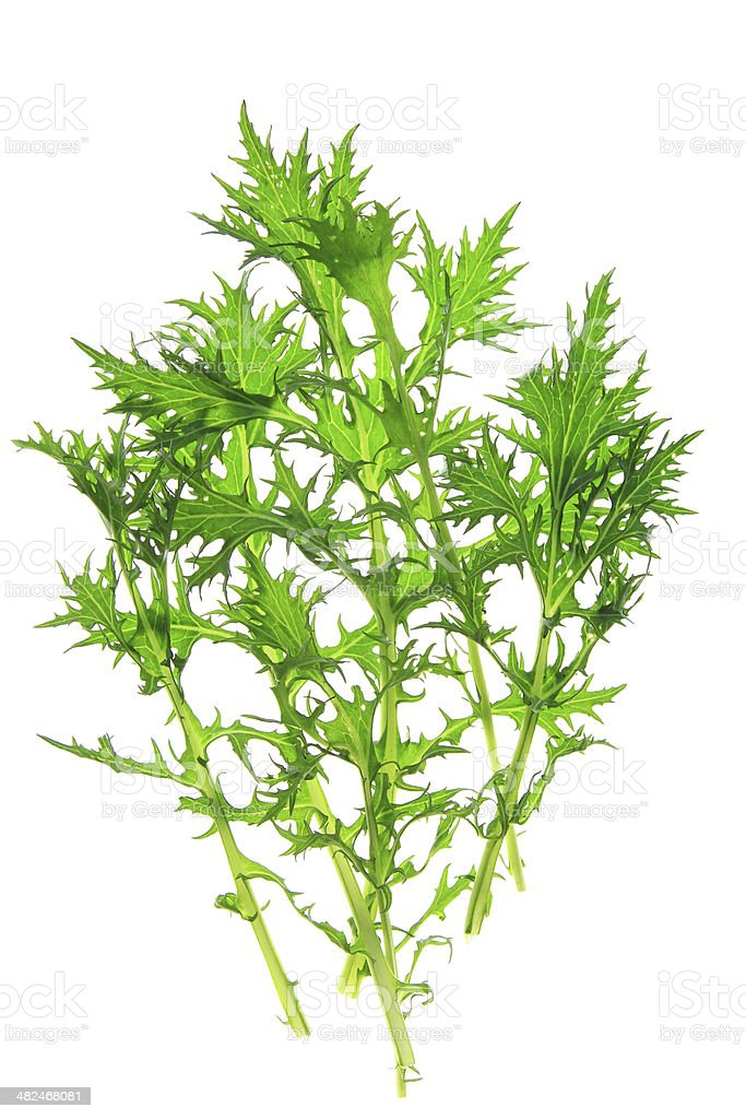Mizuna (Brassica rapa var. nipposinica) stock photo