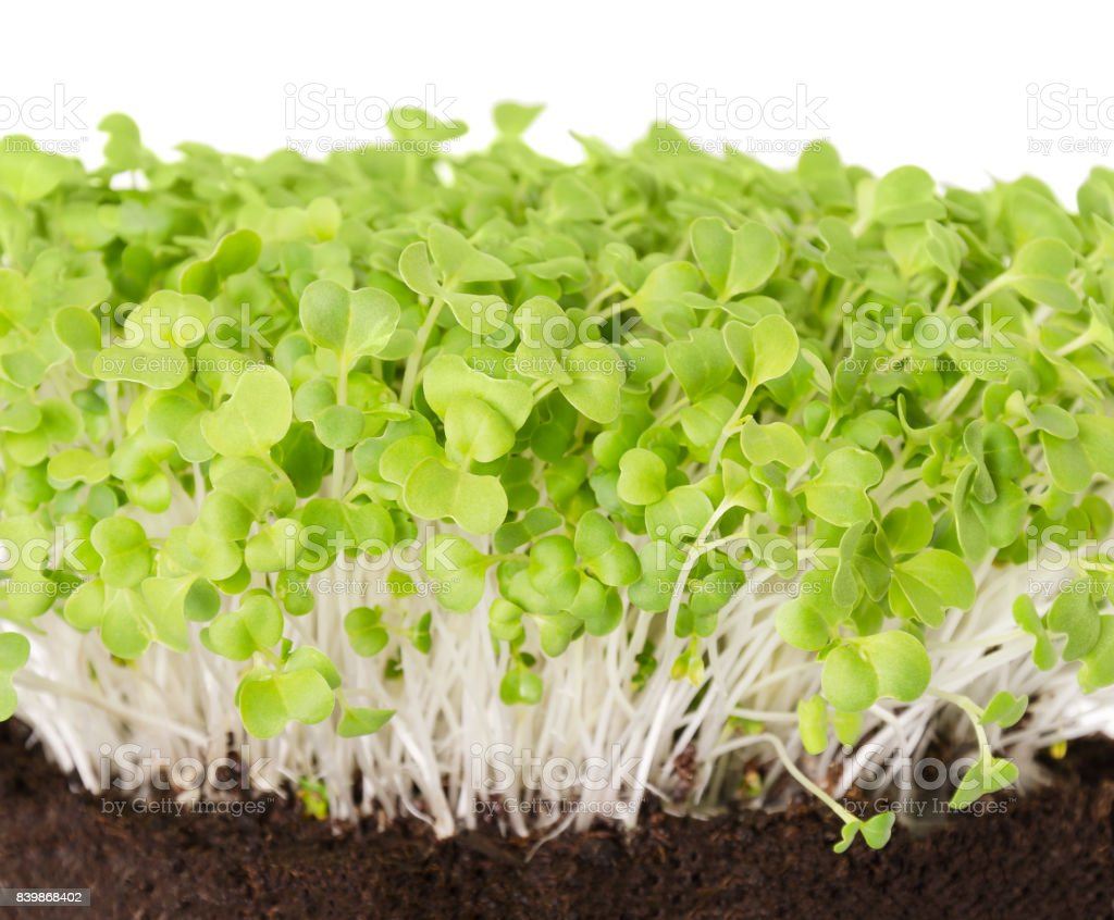Mizuna seedlings from above stock photo