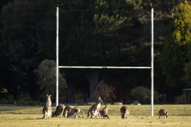 Mob of Kangaroos stock photo