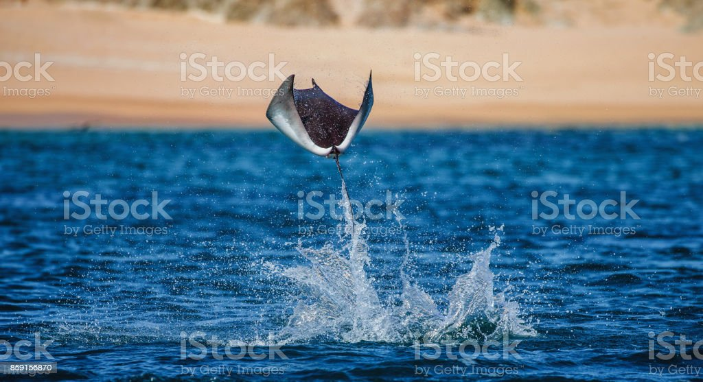 Mobula ray is jumping in the background of the beach of Cabo San Lucas. Mexico. Sea of Cortez. stock photo
