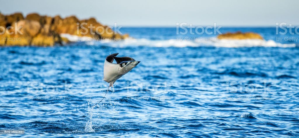 Mobula ray is jumps out of the water. Mexico. Sea of Cortez. California Peninsula . stock photo