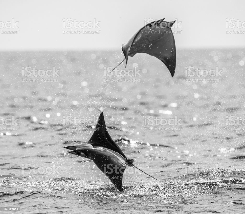 Mobula rays are jumps out of the water. Mexico. Sea of Cortez. California Peninsula . stock photo