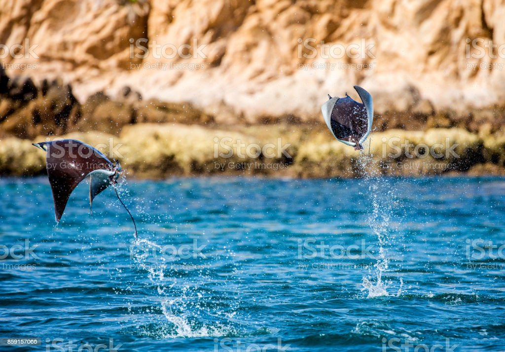 Mobula rays are jumps out of the water. Mexico. Sea of Cortez. California Peninsula stock photo