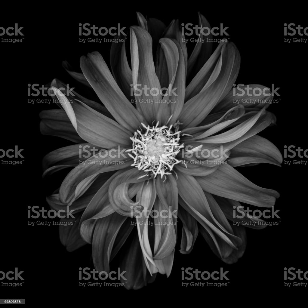 Mochrome dahlia isolated on black stock photo