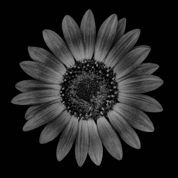 Mochrome Sunflower Isolated On Black Background Stock Photo