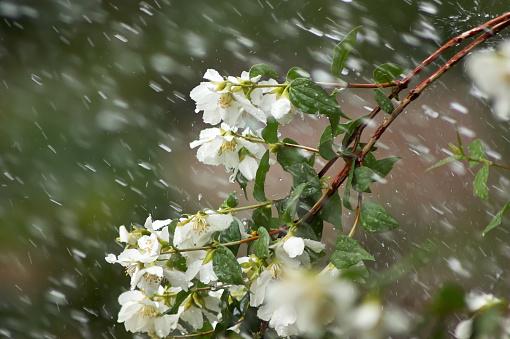 Mock Orange Branch in Rain