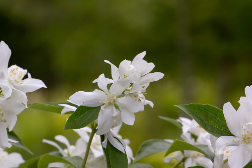 Mock orange flowers.