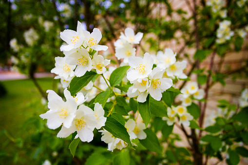 Mock orange tree - Philadelphus - flower blossoms in summer
