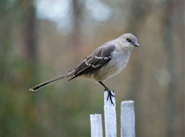mocking bird - disdainful stock pictures, royalty-free photos & images