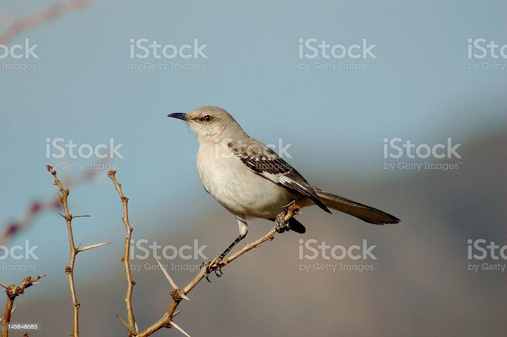Mocking bird royalty-free stock photo