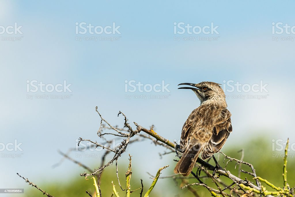 Mocking Bird Singing my Song stock photo