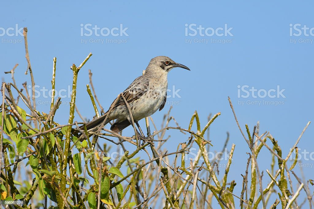 Mockingbird on Espanola royalty-free stock photo