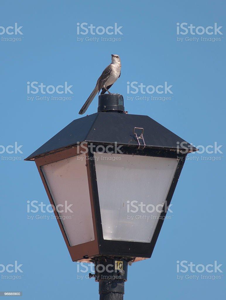Spottdrossel auf Street-Lampe Lizenzfreies stock-foto
