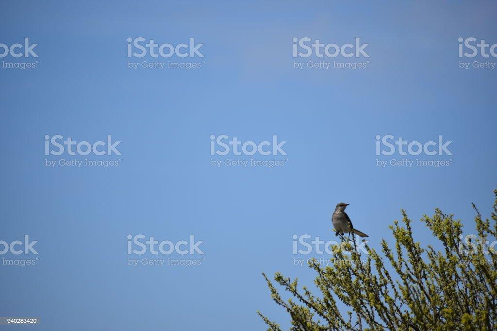 Mockingbird Perched On A Tree Royalty Free Stock Photo
