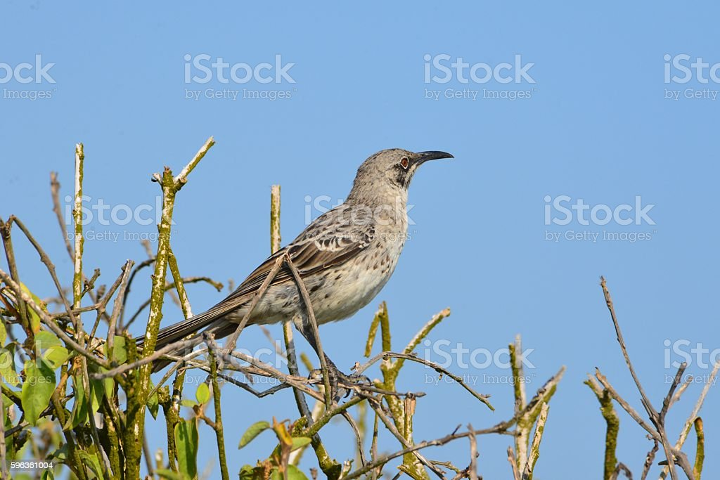 Mockingbird royalty-free stock photo