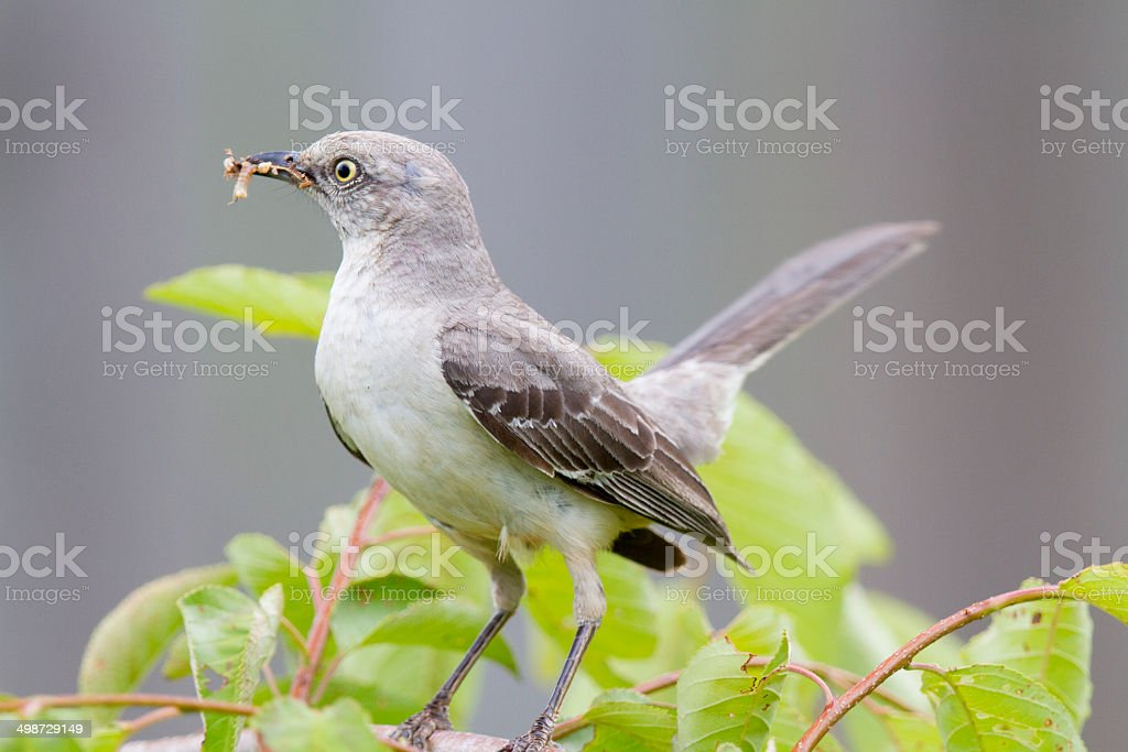 Mockingbird with grubs in mouth stock photo