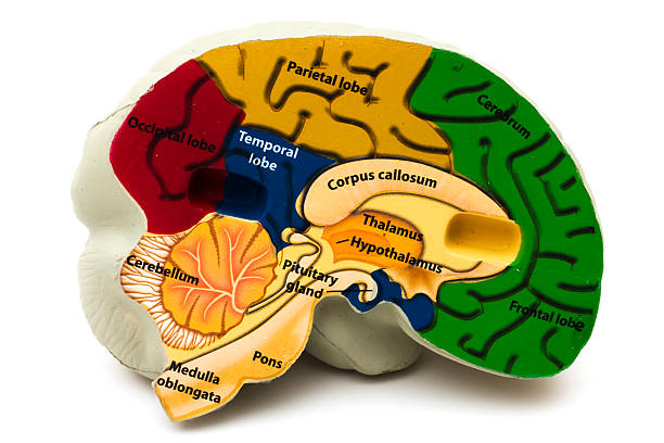 Model Brain  temporal lobe stock pictures, royalty-free photos & images