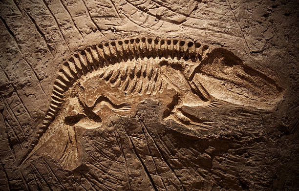 model dinosaur fossil - fossil stock photos and pictures