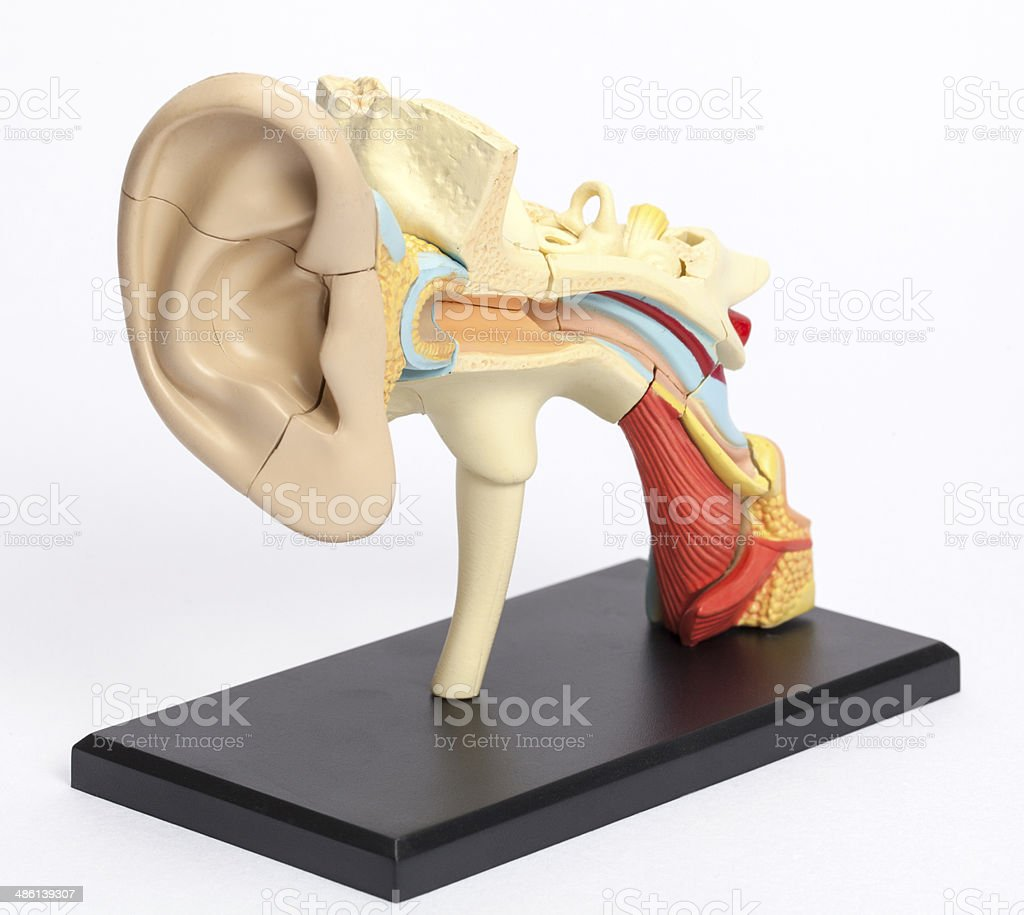 Model from auditory canal stock photo