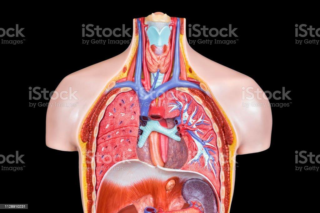 Foto De Modelo De Corpo Humano Dentro Sobre Fundo Preto E Mais Fotos De Stock De Abdome Istock