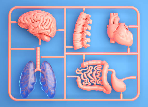 Model kit set with spare internal organs stock photo