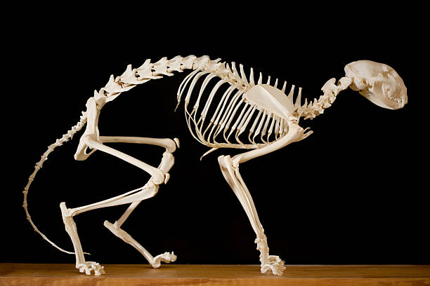 Model of a cat skeleton on display stock photo
