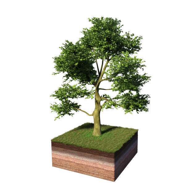 model of a cross section of ground with white ash tree tree and grass on the surface (3d illustration, isolated on white background) - ash cross stock photos and pictures