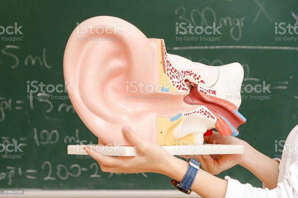Model of a human ear stock photo